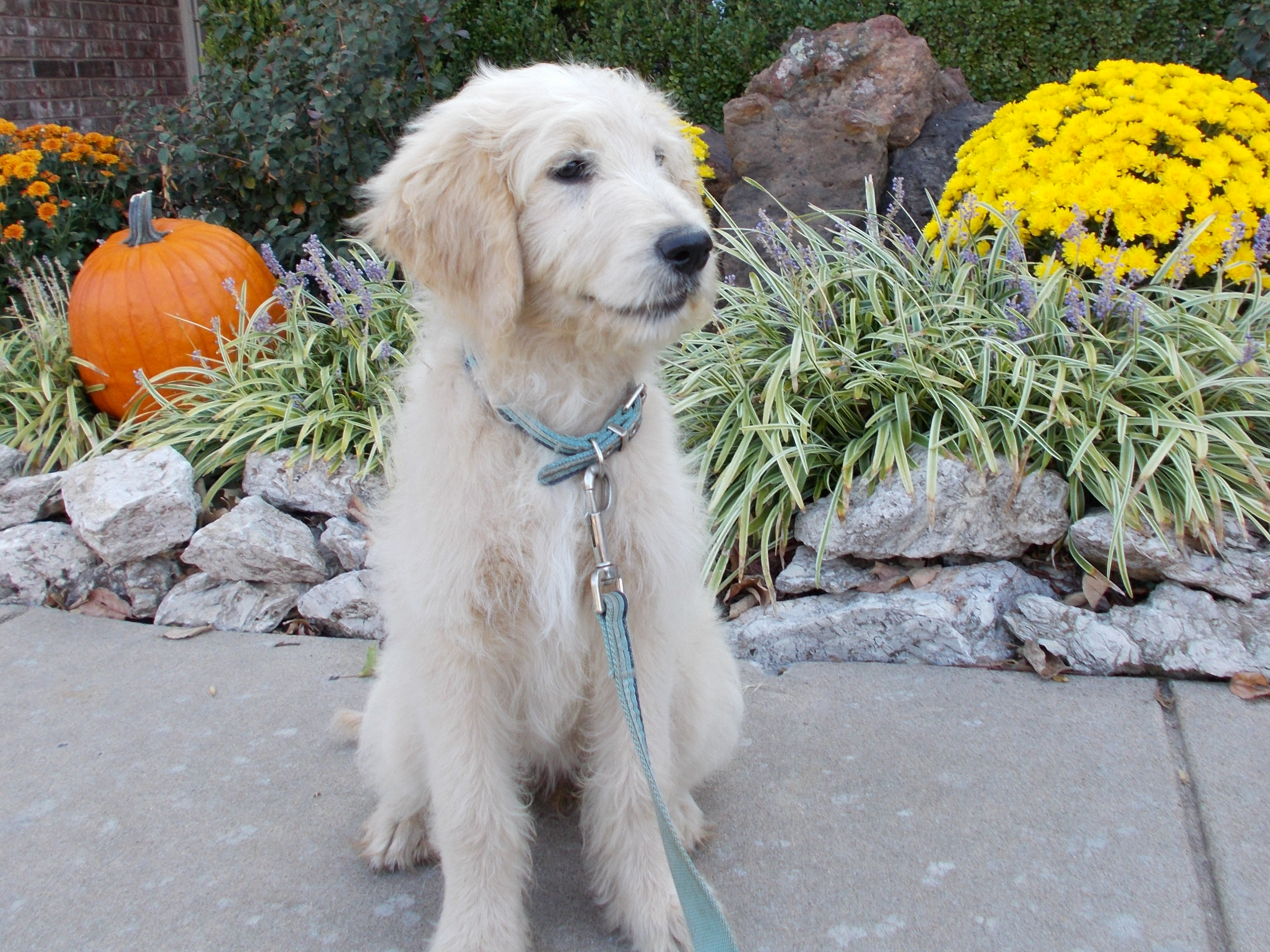 Cream mini goldendoodle