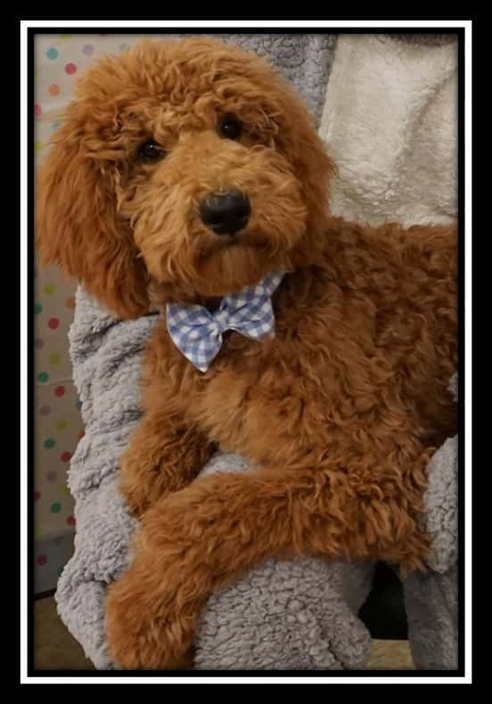 Goldendoodles Breeders Broken Arrow, Tulsa, OK | Miniature