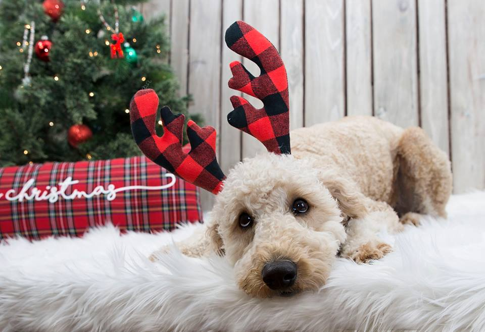 merry christmas from lucy the paisley grace boutique 2017 model goldendoodle dandies