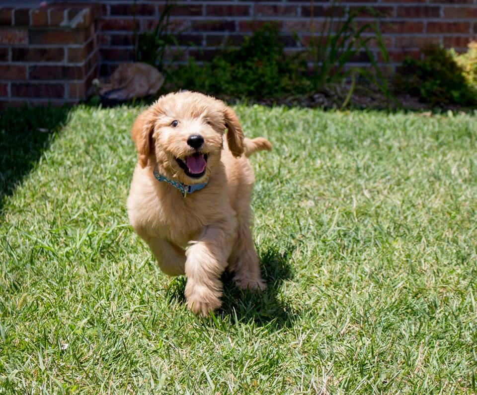 Limited Registration Of Your Dog With Akc Or Ukc